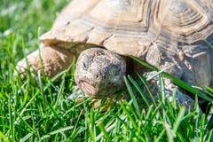 在绿草的点心草龟 免版税库存照片