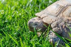 在绿草的点心草龟 免版税库存图片