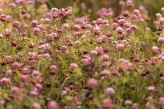 在绿草的狂放的草甸桃红色三叶草花在领域在自然软的阳光下 在日落光的三叶草领域 免版税库存照片