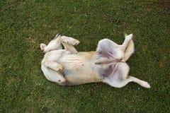 在绿草的狗辗压 库存图片