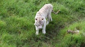 在绿草的独特的白色孟加拉老虎。 免版税库存照片