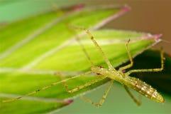 在绿草的猎蝽 免版税库存图片