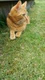 在绿草的猫 免版税库存照片