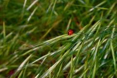 在绿草的瓢虫 库存照片