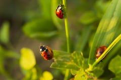 在绿草的甲虫瓢虫 免版税图库摄影