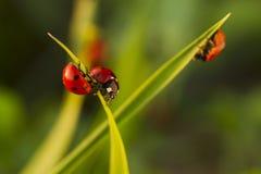 在绿草的甲虫瓢虫 图库摄影