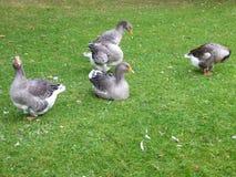 在绿草的白色和灰色鸭子 库存照片