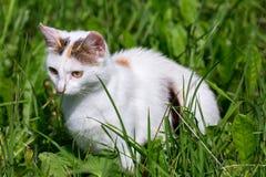 在绿草的白色狩猎猫在太阳光下 库存图片