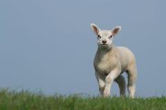 在绿草的白色羊羔与清楚的蓝天 库存照片