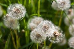 在绿草的白色蒲公英 库存图片