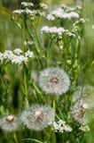 在绿草的白色蒲公英 免版税库存照片