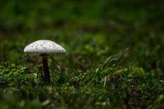 在绿草的白色蘑菇 库存图片