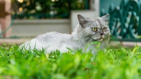 在绿草的白色长的头发家宠物猫在庭院里 免版税图库摄影