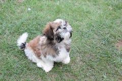 在绿草的白色髯狗小狗 库存图片