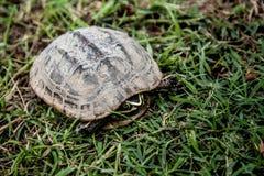 在绿草的短冷期乌龟 库存图片