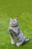 在绿草的祈祷的猫 免版税图库摄影