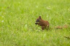 在绿草的红松鼠 免版税图库摄影