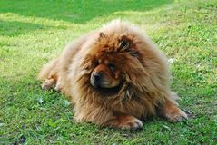 在绿草的红色中国咸菜狗 免版税库存照片