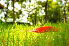 在绿草的红色叶子和树在背景中 免版税库存照片
