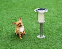 在绿草的红色奇瓦瓦狗狗选址 免版税图库摄影