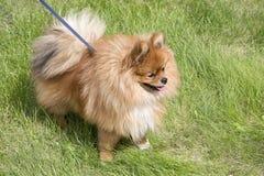 在绿草的美丽的狗 免版税库存照片