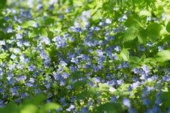 在绿草的美丽的矮小的紫色花 免版税库存照片