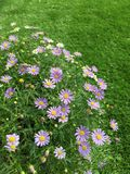 在绿草的翠菊花 免版税库存照片