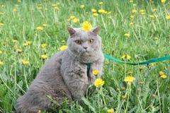 在绿草的英国猫 免版税库存照片