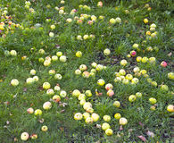 在绿草的苹果谎言 免版税库存图片