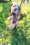 在绿草的被察觉的小的猪 免版税库存图片