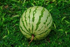在绿草的西瓜 与苍白和明亮的镶边皮肤室外照片的整个西瓜 免版税库存照片
