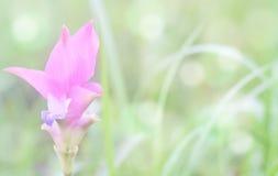 在绿草的软的迷离Krachai花有bokeh背景 图库摄影