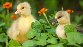 在绿草的逗人喜爱的幼鹅 股票录像