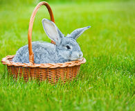 在绿草的逗人喜爱的矮小的灰色兔子 免版税库存照片