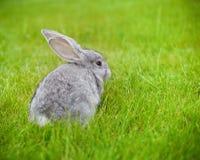 在绿草的逗人喜爱的矮小的灰色兔子 图库摄影