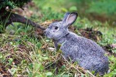 在绿草的逗人喜爱的矮小的灰色兔子 免版税库存图片