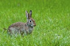 在绿草的野生兔子 库存图片