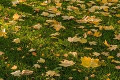 在绿草的金黄叶子 图库摄影