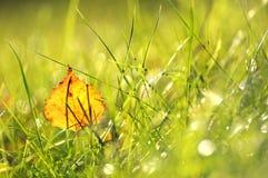 在绿草的金黄桦树叶子 免版税库存图片