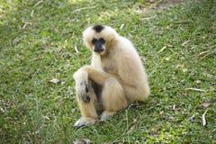 在绿草的长臂猿 免版税库存照片