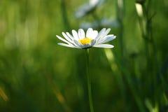 在绿草的雏菊花 免版税库存图片