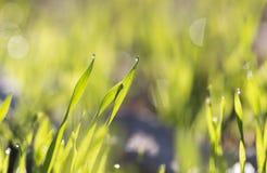 在绿草的露滴在黎明 免版税库存照片
