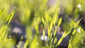 在绿草的露滴在黎明 库存照片