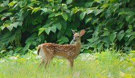 在绿草的领域的小鹿在黄昏的 库存图片