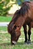在绿草的马 免版税库存照片