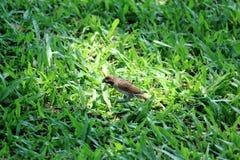在绿草的鳞状Breasted Munia鸟 免版税库存图片