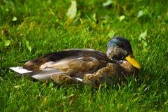 在绿草的鸭子 免版税库存图片
