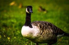 在绿草的鸭子 免版税图库摄影