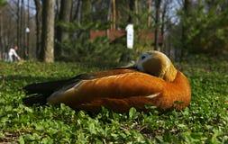 在绿草的鸭子 库存图片