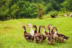 在绿草的鹅家庭 免版税库存图片